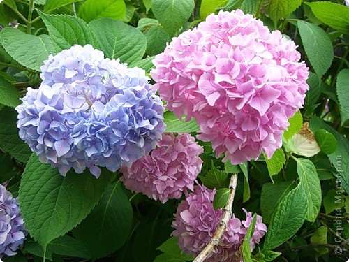 Гортензия цвела в твоём саду, Такая нежность желто-голубая, Напоминая сад эдемский Рая - Цветы на счастье, может на беду.  Голубизна по краю лепестков Подобна цвету глаз твоих прекрасных. Не замечаешь ты трудов напрасных, Измученных разлукою стихов.  Ращу мечты о лучших временах. Ласкает красотой неповторимой Цветок, родной до боли и любимый, Бальзамом душу в четырёх стенах. (автор galay )  фото 4