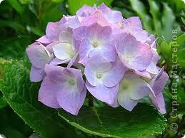 Гортензия цвела в твоём саду, Такая нежность желто-голубая, Напоминая сад эдемский Рая - Цветы на счастье, может на беду.  Голубизна по краю лепестков Подобна цвету глаз твоих прекрасных. Не замечаешь ты трудов напрасных, Измученных разлукою стихов.  Ращу мечты о лучших временах. Ласкает красотой неповторимой Цветок, родной до боли и любимый, Бальзамом душу в четырёх стенах. (автор galay )  фото 3