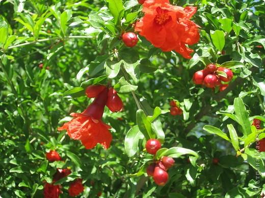 В мире природы расцвет того или иного цветка является важным показателем, по которому можно более-менее точно определить приход того или иного времени года. Именно поэтому с давних времен цветы играют важную роль как и в сельском хозяйстве, так и в повседневной жизни китайцев.  Перечень цветов, каждый из которых символизирует определенный месяц года, был составлен знатоками фэн-шуй тысячи лет назад, но и поныне цветочный календарь используется во многих областях Китая, а также в китайских общинах по всему миру.   Цветок июня – цветок гранатового дерева. Считается, что родиной гранатового дерева является Персия. Гранат - один из самых древних плодов, известных человеку. Они всегда были популярны на Ближнем и Среднем Востоке, были хорошо известны в Древнем Риме. Бытовала версия, что гранат впервые произрос в Китае. Но она распалась после того, как учеными было установлено, что в Китай гранаты попали только в 100 г до н.э. благодаря представителю династии Ханьшуй, Джанг Киану (Zhang Qian), который кроме гранатов привез на Дальний Восток кориандр, грецкие орехи, горох, огурцы, люцерну, виноград и тмин.   фото 7