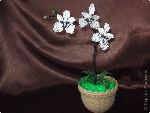 Орхидея Фаленопсис. фото 1