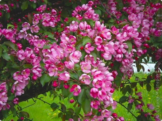 Яблоневый цвет!  Яблони в цвету  Яблони в цвету - весны творенье!  Яблони в цвету - любви круженье!  Радости свои мы им дарили,  С ними о любви мы говорили.  фото 6