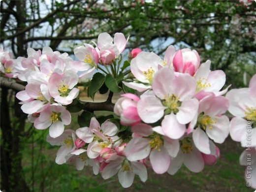 Яблоневый цвет!  Яблони в цвету  Яблони в цвету - весны творенье!  Яблони в цвету - любви круженье!  Радости свои мы им дарили,  С ними о любви мы говорили.  фото 7