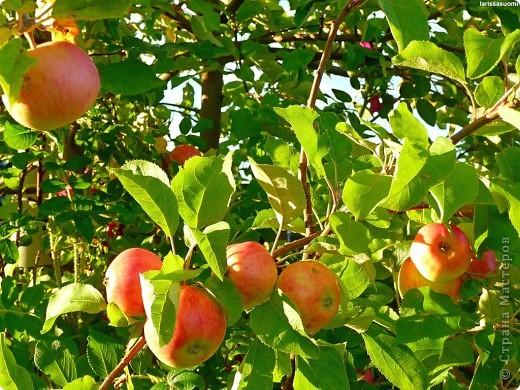 День Яблони... Сразу представила цветущий яблоневый сад... аромат цветков... пчелки собирают нектар... тепло и радостно на душе!!! Какая красота, так здорово!!!   фото 9