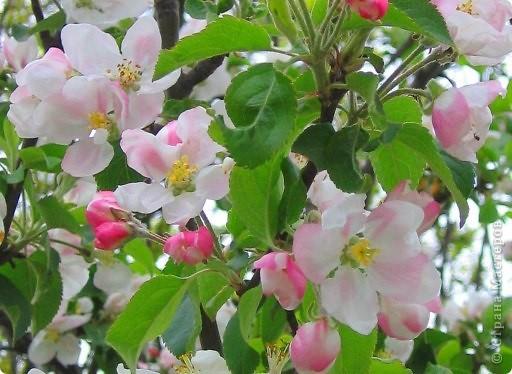 День Яблони... Сразу представила цветущий яблоневый сад... аромат цветков... пчелки собирают нектар... тепло и радостно на душе!!! Какая красота, так здорово!!!   фото 8