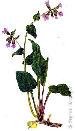 Медуница лекарственная (легочница) (от лат. pulmo — легкие) — многолетнее травянистое растение из семейства бурачниковых. Стебель прямостоячий, высотой 15—30 см, покрыт мягким железистым пушком из волосков. Листья бархатистые, с густым и мягким опушением, прикорневые длинночерешковые, эллиптические, острые, крупные стеблевые более мелкие, сидячие, яйцевидно-ланцетные, острые. Цветки поникающие в многоцветковых кистях, на верхушке стебля собраны щитком, фиолетово-синие, до распускания — розовые. Цветет в апреле — мае. Медонос. фото 8