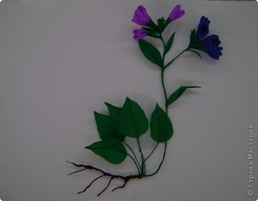 Медуница лекарственная (легочница) (от лат. pulmo — легкие) — многолетнее травянистое растение из семейства бурачниковых. Стебель прямостоячий, высотой 15—30 см, покрыт мягким железистым пушком из волосков. Листья бархатистые, с густым и мягким опушением, прикорневые длинночерешковые, эллиптические, острые, крупные стеблевые более мелкие, сидячие, яйцевидно-ланцетные, острые. Цветки поникающие в многоцветковых кистях, на верхушке стебля собраны щитком, фиолетово-синие, до распускания — розовые. Цветет в апреле — мае. Медонос. фото 1
