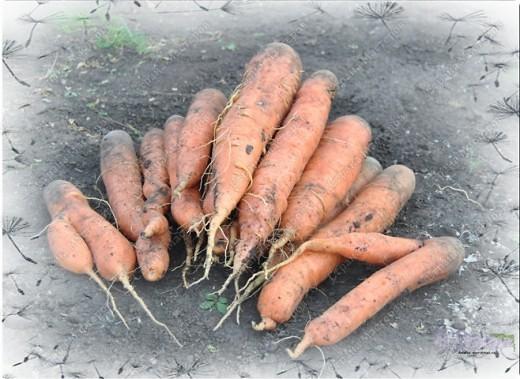 Уродился урожай - Собирай дары природы! В холод, в стужу, в непогоду Пригодится урожай!   Собирали мы семьей на своем огороде урожай и вот какой он вырос!!! Самая большая дыня выросла до 23 см, а кабачок - 50 см!!! фото 7