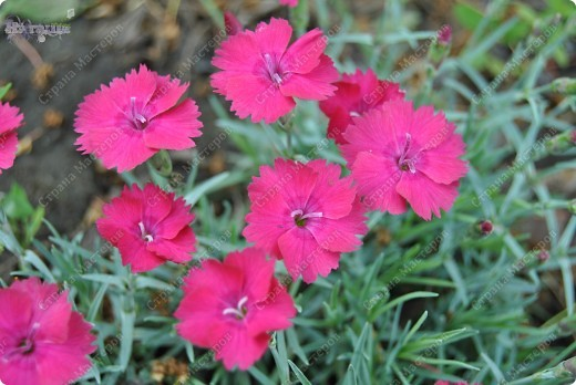 Розовые тюльпаны фото 12