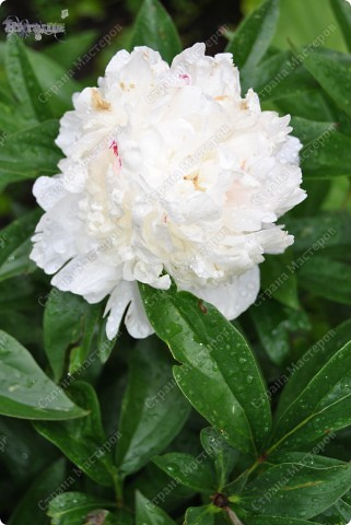 Розовые тюльпаны фото 25