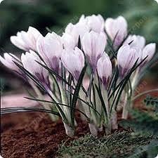 я дуже люблю коли навесні розквітають крокуси.і вони надихнуло мене зробити це фото 24