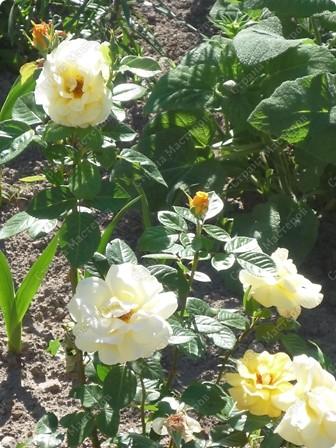Я вообще-то про цветы.Моя красавица в пионах!  А дочь моя - это наша ГОРДОСТЬ!!!! фото 15