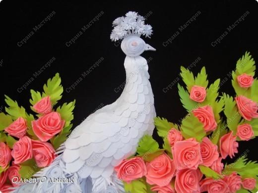 Знакомьтесь: конкурент первому павлину -белый павлин альбинос  на кусте роз. фото 3