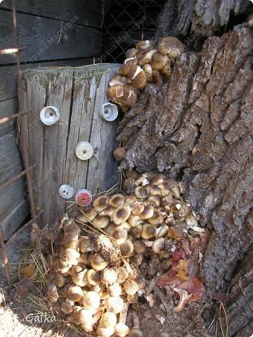 Это все выросло прямо во дворе....и в лес ходить не надо (опята) 16.10.2010
