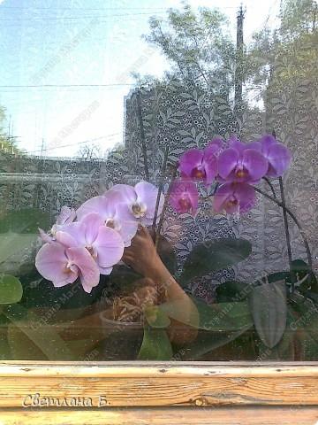 Мечты сбываются: у меня тоже распустились орхидеи. фото 3