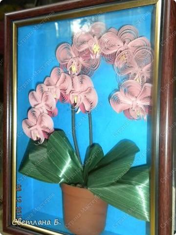 Мечты сбываются: у меня тоже распустились орхидеи. фото 4