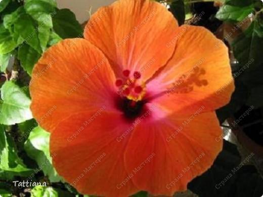 Вот такое чудо расцвело у меня сегодня. Так как цветет роза только день-два, я поспешила ее сфотографировать. И цвет она изменила, по сравнению с летним цветением. фото 3