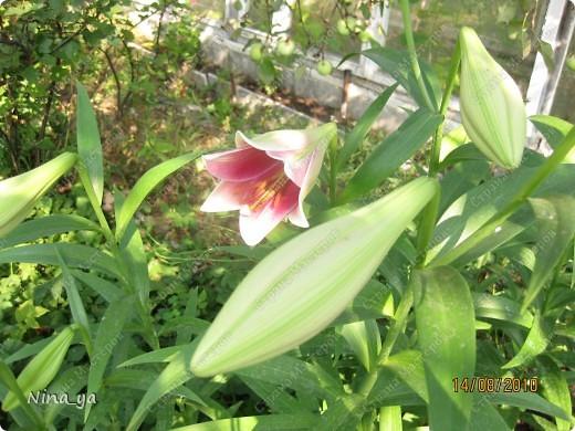Лилии. фото 6