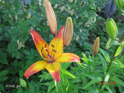 Лилии. фото 15