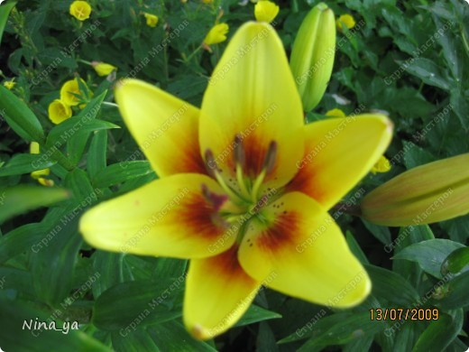 Лилии. фото 17