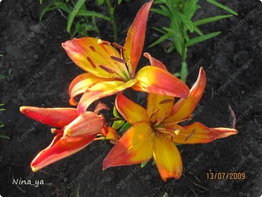 Лилии. фото 16