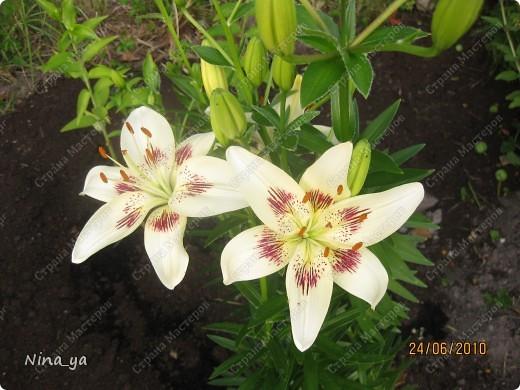 Лилии. фото 25