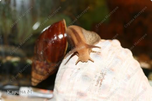 """Родина улитки - восточная Африка. Судя по многочисленным обзорам, это - самый крупный представитель сухопутных моллюсков. Раковина ахатины может достигать в длину до 25 см, а тело - до 30 см. Размеры улитки напрямую зависят от условий содержания - в благоприятном тропическом климате растут """"монстры"""" весом под 300-400 грамм. фото 3"""