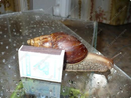 """Родина улитки - восточная Африка. Судя по многочисленным обзорам, это - самый крупный представитель сухопутных моллюсков. Раковина ахатины может достигать в длину до 25 см, а тело - до 30 см. Размеры улитки напрямую зависят от условий содержания - в благоприятном тропическом климате растут """"монстры"""" весом под 300-400 грамм. фото 10"""