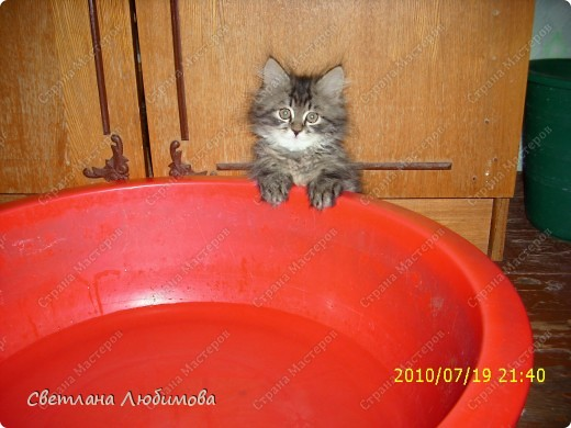 """Это любимец семьи-""""Алекс"""".  Взяли себе котенка летом. Он очень любопытный. Обожает сидеть и спасть в тазах. Стоит любой тазик поставить на пол, он тут как тут- прыг и спать . фото 8"""