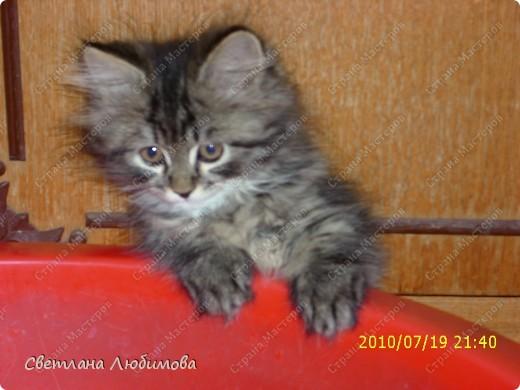 """Это любимец семьи-""""Алекс"""".  Взяли себе котенка летом. Он очень любопытный. Обожает сидеть и спасть в тазах. Стоит любой тазик поставить на пол, он тут как тут- прыг и спать . фото 1"""
