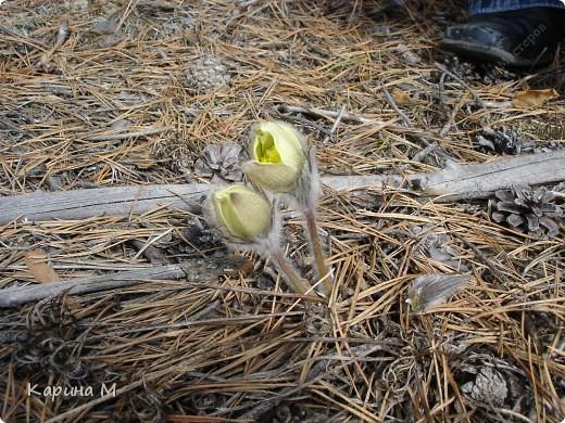 Каждый год, весной мы ездим в лес любоваться этой красотой, обычно где то в начале мая. фото 3