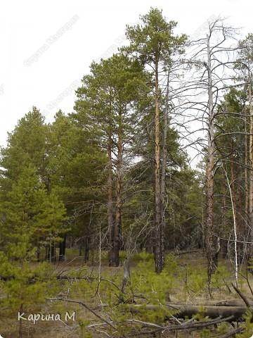 Каждый год, весной мы ездим в лес любоваться этой красотой, обычно где то в начале мая. фото 4
