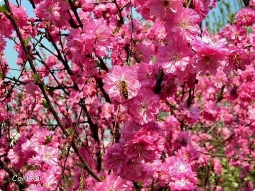 Вот такое миндальное деревце родилось, благодаря ГУЛЬКЕ.. http://stranamasterov.ru/user/46912 фото 12