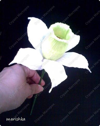 Нарцисс фото 2