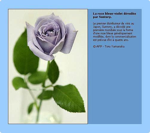 Факт тот, что в живой природе  ни синих, ни голубых роз не существует.  Дело в том, что  в них отсутствует ген синего пигмента - дельфинидин, который мог бы дать розам синий (голубой) цвет.  В 2009 году прошла новость, что японская корпорация Сантори объявила, что на прилавки поступят первые в мире  синие розы.  На Шоу цветов в Токио гендиректор отметил, что данная роза – генетически-модифицированный продукт, полученный путем имплантации необходимого гена  от анютиных глазок. Назвали новые розы -  «Аплодисменты», в знак поздравления и поощрения тех, кто добился своей мечты.  «Ну вот, наконец-то!» - подумала я.  фото 2