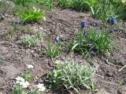 Да, весна пожалуй, не слишком торопится к нам. каждый день дожди и град. Я так соскучилась по цветам. В этом году обустраиваем двор и перепланируем клумбу, так что мои садовые жители скоро разойдутся по новым местам. А пока любуюсь фотографиями прошлых лет:) И с вами хочу поделиться этой красотой. фото 7