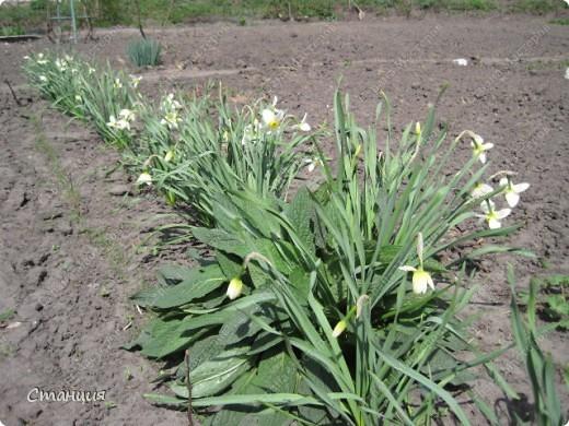 Да, весна пожалуй, не слишком торопится к нам. каждый день дожди и град. Я так соскучилась по цветам. В этом году обустраиваем двор и перепланируем клумбу, так что мои садовые жители скоро разойдутся по новым местам. А пока любуюсь фотографиями прошлых лет:) И с вами хочу поделиться этой красотой. фото 11