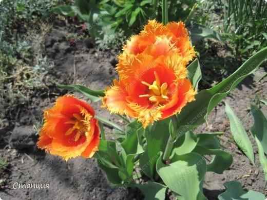 Да, весна пожалуй, не слишком торопится к нам. каждый день дожди и град. Я так соскучилась по цветам. В этом году обустраиваем двор и перепланируем клумбу, так что мои садовые жители скоро разойдутся по новым местам. А пока любуюсь фотографиями прошлых лет:) И с вами хочу поделиться этой красотой. фото 12