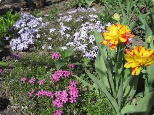 Да, весна пожалуй, не слишком торопится к нам. каждый день дожди и град. Я так соскучилась по цветам. В этом году обустраиваем двор и перепланируем клумбу, так что мои садовые жители скоро разойдутся по новым местам. А пока любуюсь фотографиями прошлых лет:) И с вами хочу поделиться этой красотой. фото 13