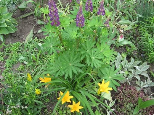 Да, весна пожалуй, не слишком торопится к нам. каждый день дожди и град. Я так соскучилась по цветам. В этом году обустраиваем двор и перепланируем клумбу, так что мои садовые жители скоро разойдутся по новым местам. А пока любуюсь фотографиями прошлых лет:) И с вами хочу поделиться этой красотой. фото 14