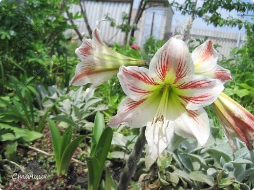 Да, весна пожалуй, не слишком торопится к нам. каждый день дожди и град. Я так соскучилась по цветам. В этом году обустраиваем двор и перепланируем клумбу, так что мои садовые жители скоро разойдутся по новым местам. А пока любуюсь фотографиями прошлых лет:) И с вами хочу поделиться этой красотой. фото 18