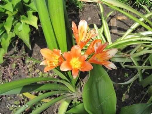 Да, весна пожалуй, не слишком торопится к нам. каждый день дожди и град. Я так соскучилась по цветам. В этом году обустраиваем двор и перепланируем клумбу, так что мои садовые жители скоро разойдутся по новым местам. А пока любуюсь фотографиями прошлых лет:) И с вами хочу поделиться этой красотой. фото 19