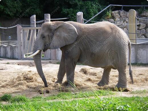 Воодушевившись фотопутешествиями Олесандры и фоторепортажем из московского зоопарка Hani , решила пригласить вас в виртуальное путешествие по парку Дворца Шёнбрунн  ( венской резиденции австрийских императоров ) и расположенному там зоопарку. Построенный в 1752 году в качестве императорского зверинца, он является старейшим зоопарком в мире. В то время зоопарк был доступен только членам императорской семьи. Император Иосиф II особенно любил это место, и сделал немало для развития парка. Он много путешествовал по Африке и Америке, привозя из каждой поездки животных для пополнения коллекции. При нем же, в 1779г., зоопарк открыли для публики, причем бесплатно.  фото 83