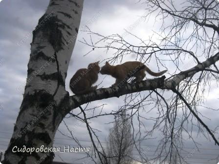 Котята на березе. Один уже залез, второй залезает. фото 2