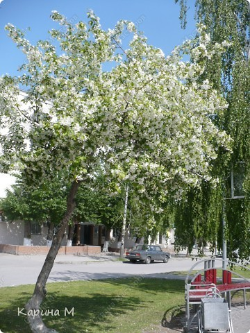 Белоснежная яблонька. фото 1