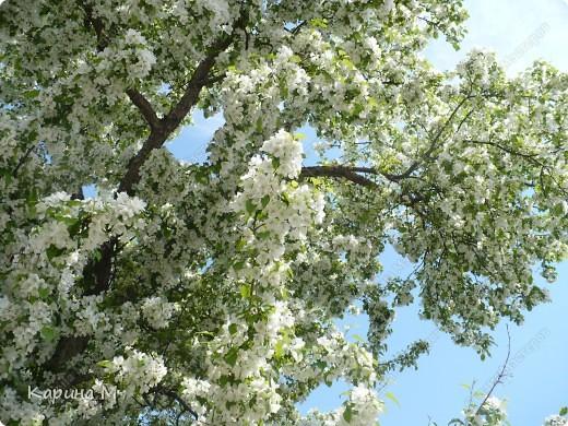 Белоснежная яблонька. фото 4