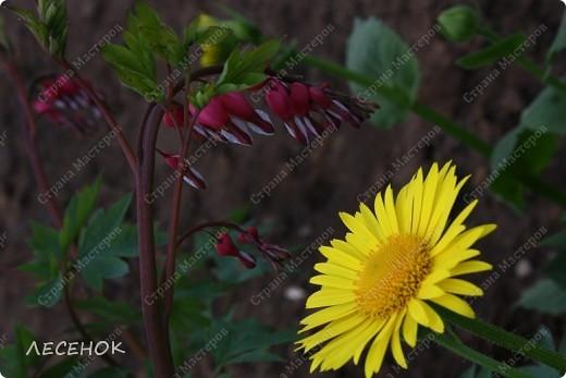 """Вот такое настроение и такая работа родилась, глядя на столь чудесное творение природы, цветок, который растет у нас в саду. Дицентру называют ласково и немного грустно: """"Разбитое сердце"""" по-русски, """"Сердечко Жаннетты"""" по-французски, """"Цветок сердца"""" по-немецки, """"Истекающее кровью сердце"""" по-английски... И все за оригинальную форму цветков: они напоминают маленькое расколотое пополам сердечко.    Наши с Вами сердца племенные, страстные, любящие, заботливые, ласковые, нежные и просто материнские.  Очень хочется, что бы Ваши сердца ни когда не унывали, не расстраивались, не печалились, всегда любили, радовались, бились в унисон с любимыми людьми.                       Любите друг друга, радуйтесь каждому дню, цените друг друга, радуйтесь детским шалостям и улыбкам своих детей, хвалите их, обнимайте, целуйте часто и будьте счастливы!!! Мы желаем Вам это от всего сердца…  фото 12"""