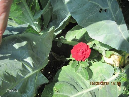 """наш газон """"Восточный орнамент"""". фирма Экзотика. 22 цветка, газон меняет свой облик в течение всего лета,сейчас он такой) никогда не видела раньше белые и розовые маки) фото 19"""