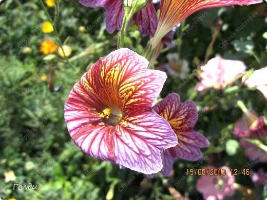 """наш газон """"Восточный орнамент"""". фирма Экзотика. 22 цветка, газон меняет свой облик в течение всего лета,сейчас он такой) никогда не видела раньше белые и розовые маки) фото 18"""