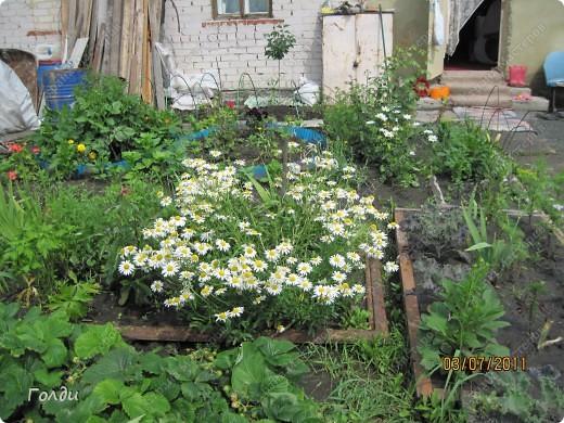 """наш газон """"Восточный орнамент"""". фирма Экзотика. 22 цветка, газон меняет свой облик в течение всего лета,сейчас он такой) никогда не видела раньше белые и розовые маки) фото 8"""