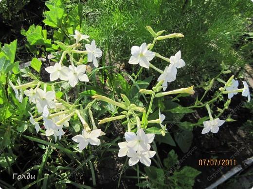"""наш газон """"Восточный орнамент"""". фирма Экзотика. 22 цветка, газон меняет свой облик в течение всего лета,сейчас он такой) никогда не видела раньше белые и розовые маки) фото 9"""